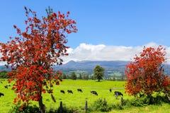 Alberi e mucche rossi nel prato alpino Fotografia Stock Libera da Diritti