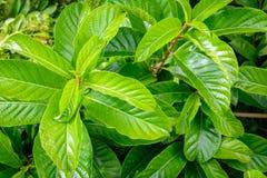 Alberi e pianta verdi della foglia Fotografia Stock