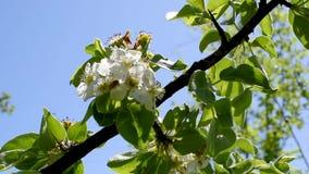 Alberi e rami con i fiori della pera e l'Apple-albero di colore rosa in primavera o stock footage