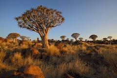 Alberi e rocce del fremito nella foresta dell'albero del fremito Fotografia Stock Libera da Diritti