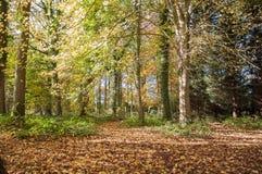 Alberi e siluette di autunno nella campagna britannica Immagini Stock