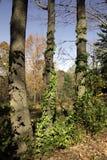 Alberi e viti Fotografia Stock