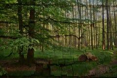 Alberi ed erbe alte nella foresta nel primo mattino Fotografie Stock