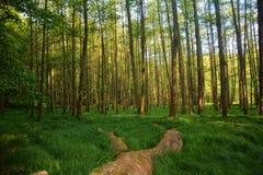 Alberi ed erbe alte nella foresta nel primo mattino Immagini Stock