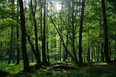 Alberi ed erbe nella foresta nel primo mattino Immagini Stock