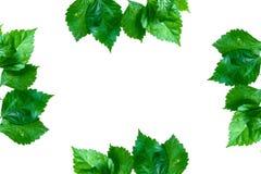 Alberi ed isolato verdi della pianta della foglia Immagine Stock