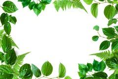 Alberi ed isolato verdi della pianta della foglia Fotografia Stock