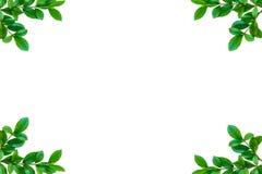 Alberi ed isolato verdi della pianta della foglia Immagine Stock Libera da Diritti
