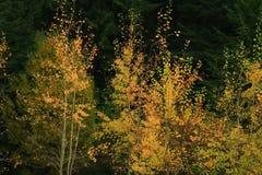 Alberi foresta e della tremula di tremito di nord-ovest pacifiche immagini stock libere da diritti
