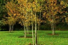 Alberi foresta e della tremula di tremito di nord-ovest pacifiche fotografia stock