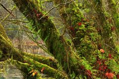 Alberi foresta e di acero di nord-ovest pacifici della vite Immagini Stock
