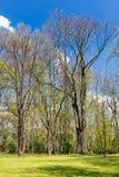 Alberi in foresta sul fondo del cielo blu Paesaggio della sorgente Immagini Stock Libere da Diritti