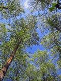 Alberi forestali Fotografia Stock Libera da Diritti