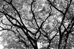 Alberi forestali ambiti di provenienza di legno in bianco e nero della natura Fotografie Stock