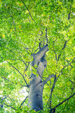 Alberi forestali Ambiti di provenienza di legno verdi di luce solare della natura Fotografie Stock Libere da Diritti