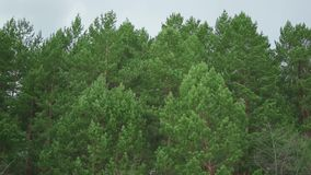Alberi forestali azione Fondo di legno verde della natura Il concetto di calma e di serenità video d archivio