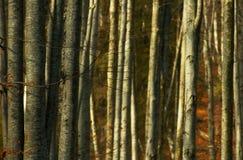 Alberi forestali densi immagini stock