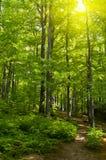 Alberi forestali di estate Fotografia Stock Libera da Diritti