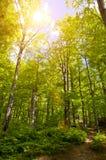 Alberi forestali di estate Fotografie Stock
