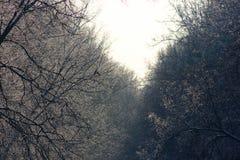 Alberi forestali di inverno nella neve Immagine Stock