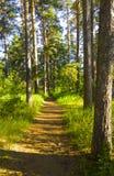 Alberi forestali e apatico leggiadramente Boschetto magico Immagini Stock Libere da Diritti