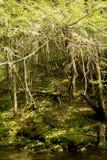 Alberi forestali in sole con muschio vicino alla corrente upstate in NY Fotografia Stock Libera da Diritti