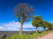 Alberi a forma di rotondi sulla costa baltica Fotografia Stock