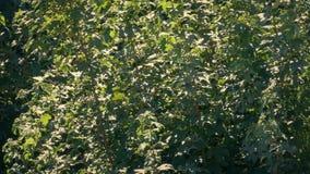 Alberi frondosi che si muovono in brezza su Sunny Day archivi video