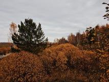 Alberi gialli Fotografia Stock