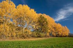 Alberi gialli Fotografia Stock Libera da Diritti