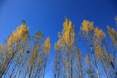 Alberi gialli in autunno a nordest della Cina immagini stock