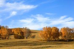 Alberi gialli con il fondo del cielo blu nella prateria di Mongolia Interna in Wulanbutong immagini stock libere da diritti