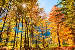 Alberi gialli di autunno sulla costa del lago in alpi austriache Fotografia Stock Libera da Diritti