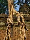 Alberi giganti che coprono le vecchie tempie di Angkor Wat immagine stock libera da diritti