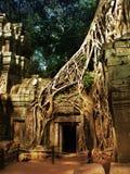 Alberi giganti che coprono le vecchie tempie di Angkor Wat fotografie stock