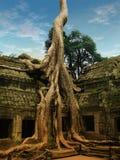 Alberi giganti che coprono le vecchie tempie di Angkor Wat fotografia stock libera da diritti