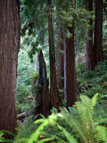 alberi giganti del redwood Immagini Stock Libere da Diritti