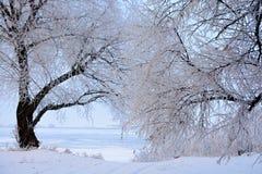Alberi glassati bianco nell'inverno Fotografie Stock