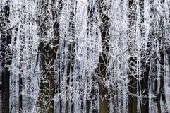 Alberi glassati in inverno Fotografia Stock Libera da Diritti