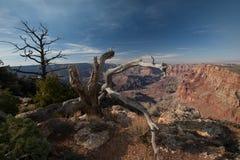 Alberi a Grand Canyon Fotografie Stock Libere da Diritti