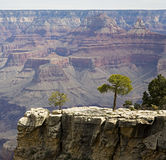 Alberi in grande canyon Immagini Stock