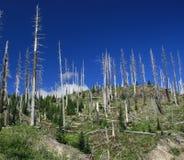 Alberi guasti alla st Helen di Mt Fotografia Stock