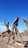 Alberi guasti nel deserto Immagini Stock Libere da Diritti