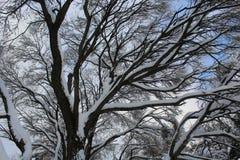 Alberi innevati contro il cielo blu Fotografia Stock