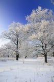 Alberi innevati in inverno Fotografia Stock Libera da Diritti