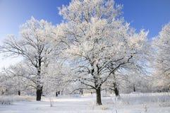 Alberi innevati in inverno Fotografia Stock