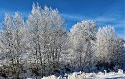 Alberi innevati, Montana fotografia stock libera da diritti