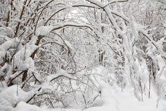 Alberi innevati nella foresta di inverno Fotografia Stock