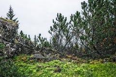 Alberi islandesi coniferi immagine stock libera da diritti