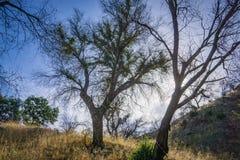 Alberi in legno di California del sud Fotografia Stock